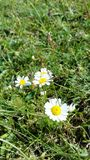Daisy flowers. In my village Stock Photos
