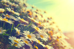 Daisy flowers. Nature scene with blooming chamomiles stock images