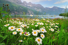 Daisy flowers near the Alpine lake Royalty Free Stock Photography