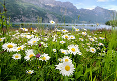 Daisy flowers near a lake Stock Photography