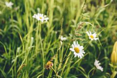 Daisy Flowers no gramado foto de stock