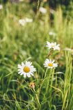 Daisy Flowers no gramado fotografia de stock royalty free