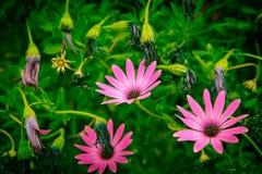 Daisy Flowers Osteospermum Royaltyfri Bild