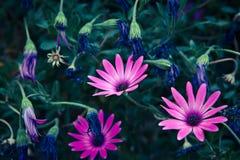 Daisy Flowers Osteospermum Royaltyfri Fotografi