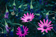 Daisy Flowers, Osteospermum Royalty Free Stock Photography