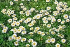 Daisy Flowers på ängen. Royaltyfri Fotografi