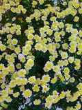 Daisy flowers at the park in autumn Stock Photography