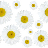 Daisy flowers pattern Stock Photography
