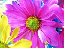 Daisy Flowers Pink Stock Photo