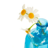 Daisy flowers posy cloe up Royalty Free Stock Photo