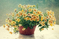 Daisy flowers in the pot Stock Photography