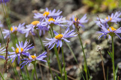 Daisy flowers purple mountain Royalty Free Stock Image