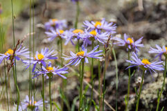 Daisy flowers purple mountain Royalty Free Stock Photography