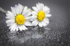 Daisy flowers reflection. Daisy flowers with water drop on reflection background macro photography Royalty Free Stock Photo