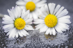 Daisy flowers reflection. Daisy flowers with water drop on reflection background macro photography Stock Photography