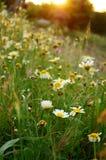 Daisy Flowers salvaje en la puesta del sol por la colina Imagen de archivo libre de regalías