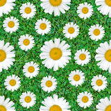 Daisy flowers seamless pattern on natural green grass mix background Stock Photo