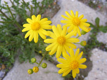 Daisy flowers,Sidewalks, ornamental flowers, natural colored flowers, city ornamental flowers, flowers between stones, Stock Image