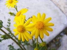 Daisy flowers,Sidewalks, ornamental flowers, natural colored flowers, city ornamental flowers, flowers between stones, Royalty Free Stock Images