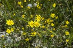 Daisy flowers,Sidewalks, ornamental flowers, natural colored flowers, city ornamental flowers, flowers between stones, Royalty Free Stock Photos