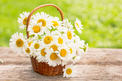 Daisy flowers in the small basket. On the table stock photography
