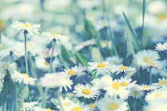 Daisy flowers - spring daisy flowers Royalty Free Stock Photography