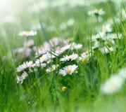 Daisy flowers in spring grass (springtime) Stock Photos