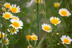 Daisy flowers on the meadow. Daisy flowers on spring meadow Royalty Free Stock Photos