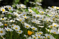 Daisy flowers on the spring meadow. Royalty Free Stock Photography
