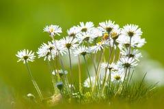 Daisy flowers springtime Royalty Free Stock Image
