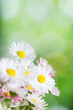 Daisy flowers. Summer background Royalty Free Stock Photography