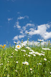 Daisy flowers in Summer meadow. Low angle scenic view of blooming Common Daisy flowers in summer field or meadow with blue sky and cloudscape background Stock Photo