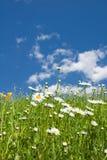 Daisy flowers in Summer meadow Stock Photo