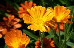 Daisy, Flowers, Summer, Orange Stock Images
