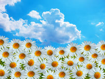 Daisy flowers and summer skies Royalty Free Stock Image