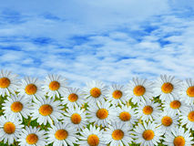 Daisy flowers and summer skies Royalty Free Stock Images