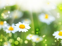 Daisy flowers and sun beam Stock Images