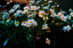 Daisy Flowers In Sunset Of Spring Royalty Free Stock Image