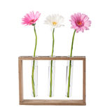 Daisy flowers in test tubes. Gerbera daisy flowers in test tubes isolated on white background Royalty Free Stock Image