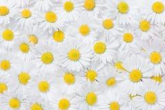 Daisy flowers texture Stock Photo