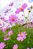 Daisy flowers under sky. Some daisy flowers under sky Stock Photography