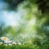 Daisy flowers under the sweet rain Stock Photos