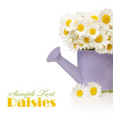 Daisy flowers in violet watering can Stock Photography