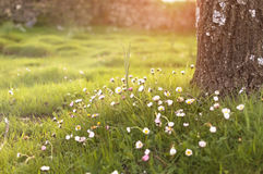 Daisy flowers in a warm light of sunset. In the forest Stock Image