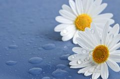 Daisy flowers with water drops Royalty Free Stock Images