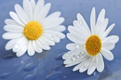 Daisy flowers with water drops Stock Photos