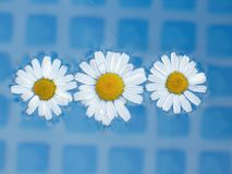 Daisy flowers at water Stock Photography