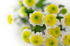 Daisy flowers on a white background. Gift card Stock Image
