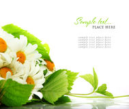Daisy flowers in white background (shallow DOF) Royalty Free Stock Photography