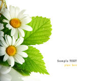 Daisy flowers in white background (shallow DOF) Stock Photo